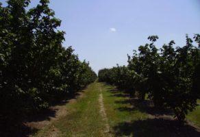 Proizvodnja voća i sadnog materijala Hazel-Nut Kupinik