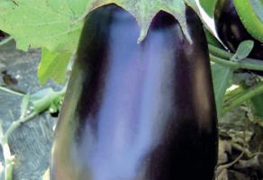Seme povrća hibridi PAN SEED DOO Novi Sad