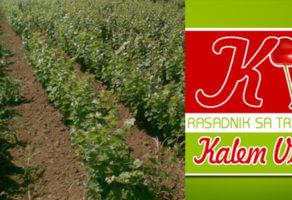 Proizvodnja voćnih sadnica loznih kalemova stubastog voća KALEM VIŠNJE