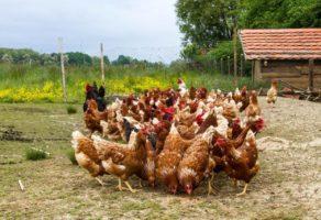 Uzgoj živine Agrovet Beograd