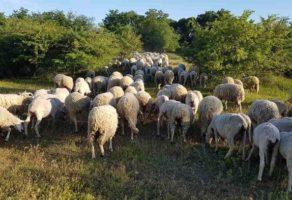 Prodaja ovaca Farma Ovaca Zatonje