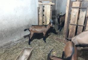Farma koza Petrović Ćuprija
