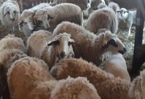 Farma sjeničkih ovaca LAZAREVIĆ Ljig